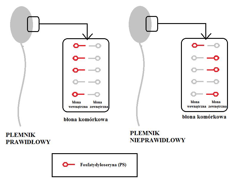 Przemieszczenie fosfatydyloseryny